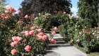 christchurch-botanic-gardens-new-zealand-rose-garden